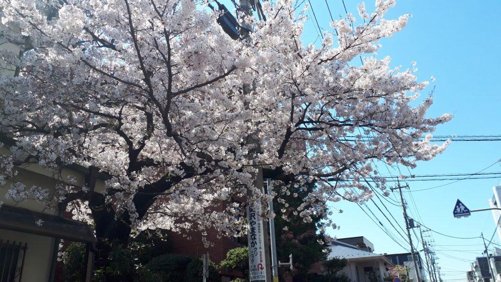 桜も満開ですね。